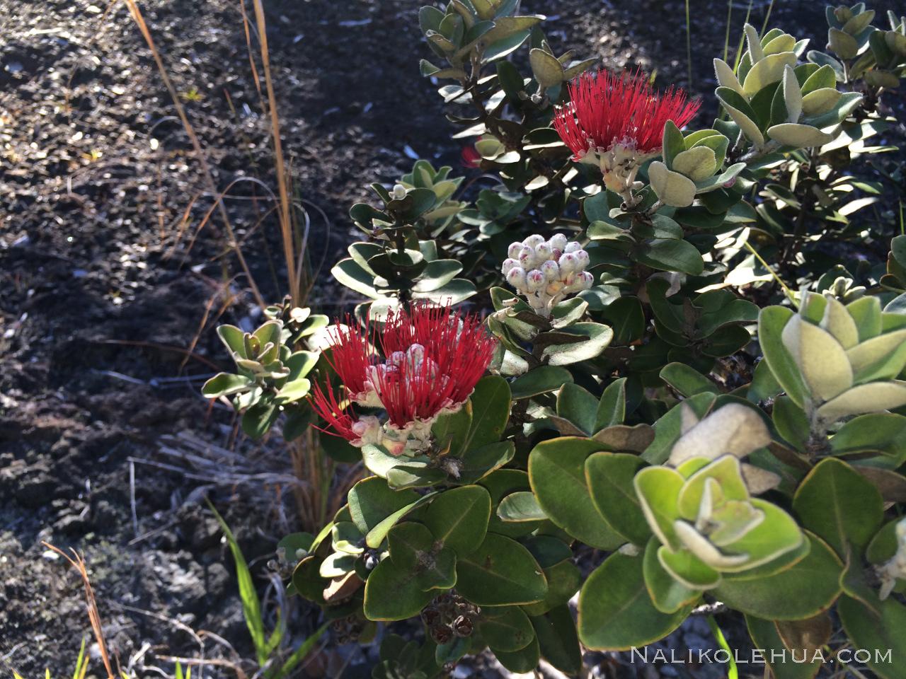 オヒアレフアの花レフアの芽