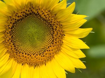 向日葵の種の配列も神聖幾何学模様